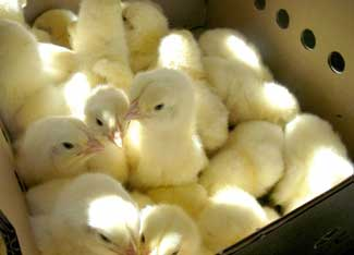 box of chicks