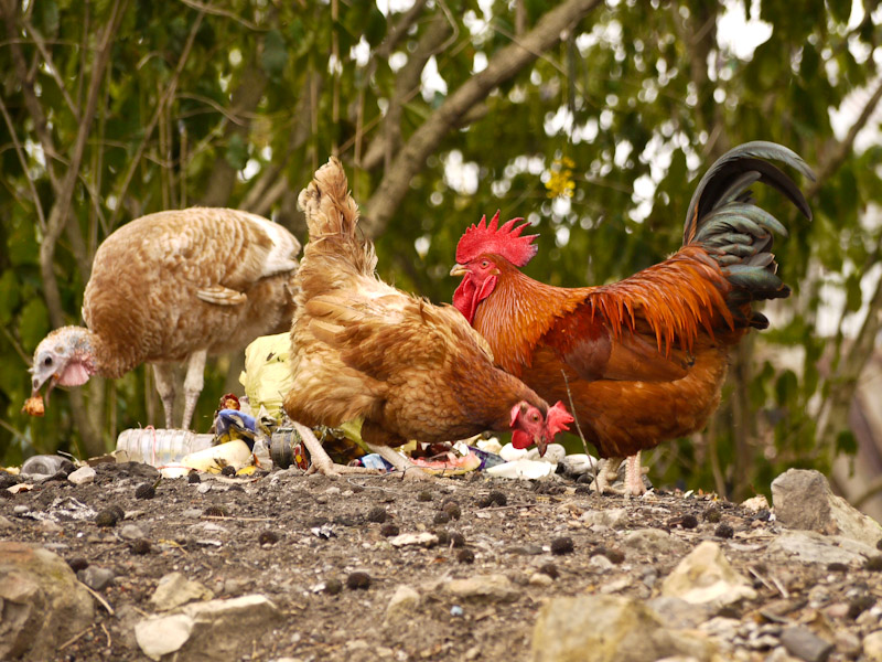 chickens eating scraps