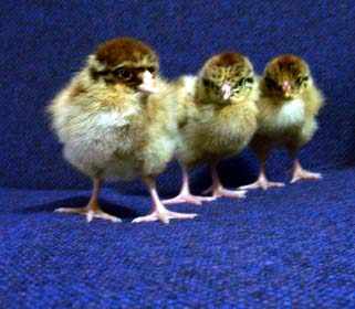 chantecler_chicks