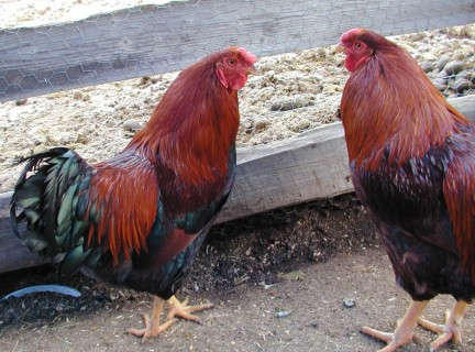 chantecler_rooster_and_hen