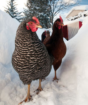 chickens_in_snow