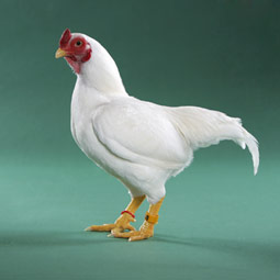 cornish_rooster