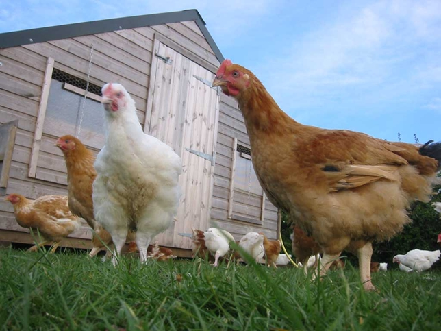 5 Reasons NOT to Own Guinea Fowl  The Free Range Life