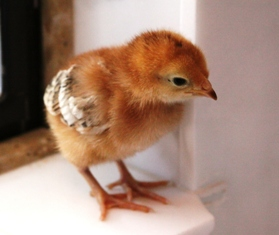 new_hampshire_red_chick