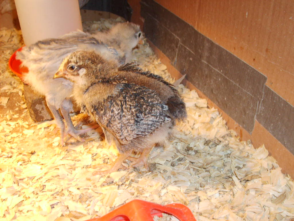plymouth_rock_chicks