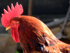 rooster culling