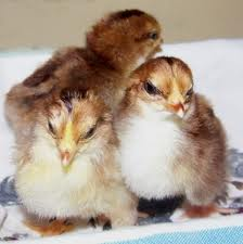 sussex_chicks