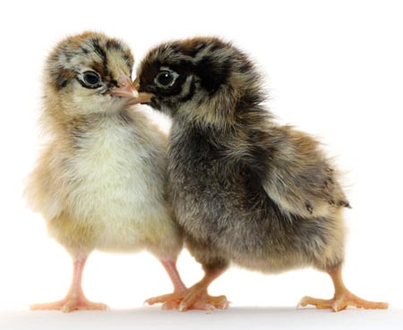 two_chicks