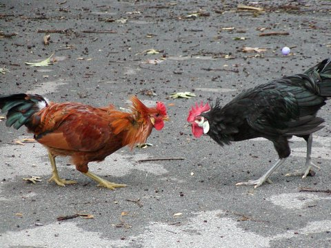 white-faced+black_spanish_rooster