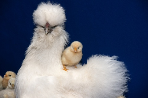 white_sultan_with_chick