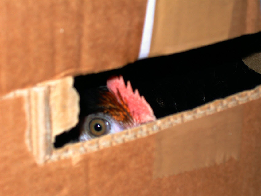 chicken looking through a hole in a cardboard box