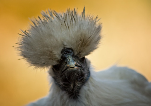 cute silkie chicken
